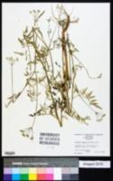 Torilis arvensis image