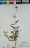 Helianthus gracilentus image