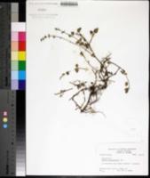 Image of Salvia occidentalis