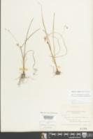 Hypoxis micrantha image