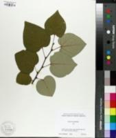 Cercis racemosa image