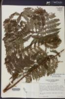 Cyathea microdonta image