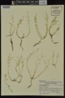 Arenaria serpyllifolia image