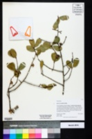Quercus myrtifolia image
