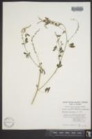 Melilotus officinalis image