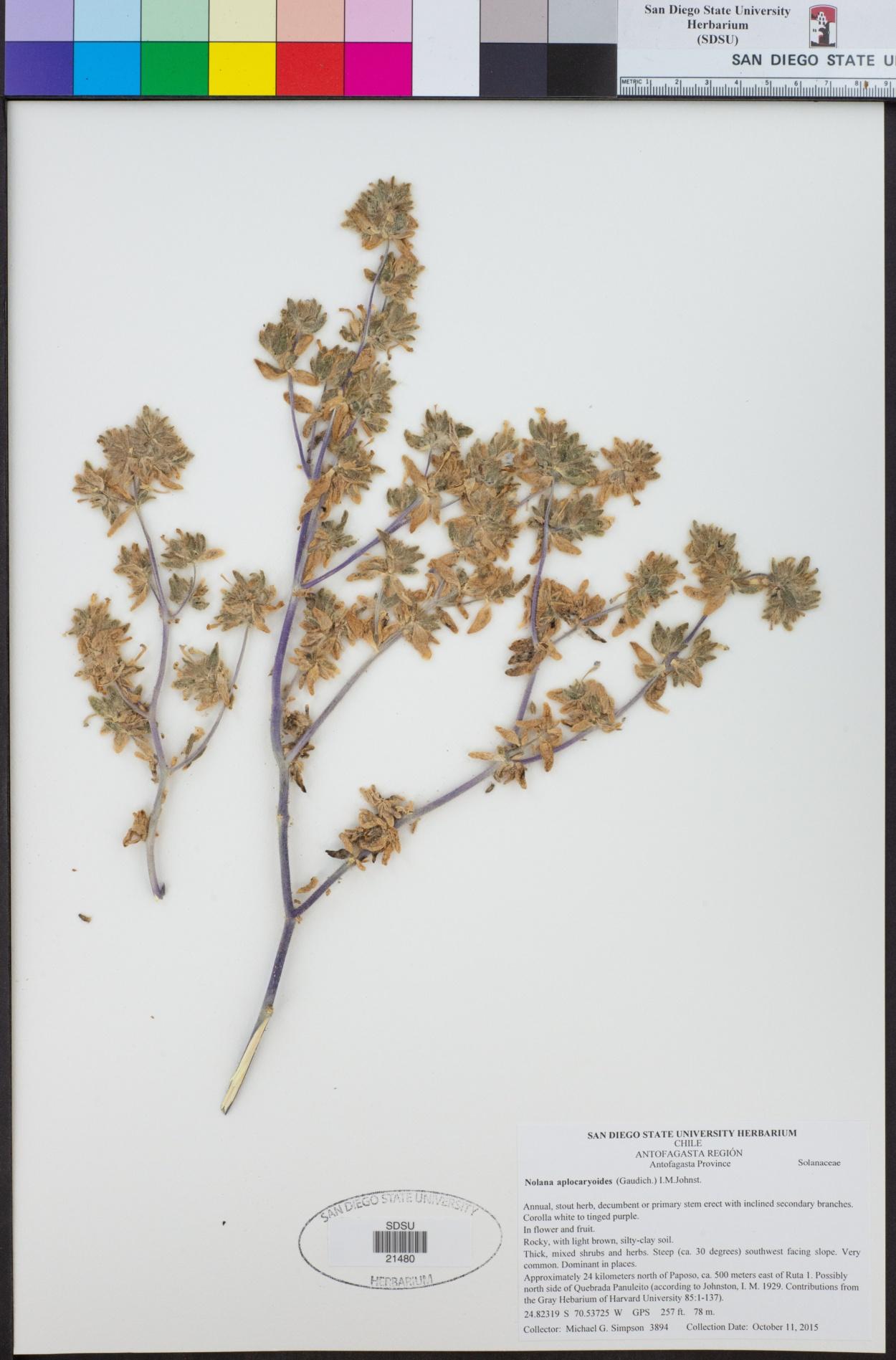 Nolana aplocaryoides image