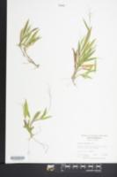 Image of Panicum ciliatum