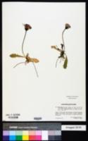Image of Crepis aurea