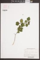 Image of Crataegus brittonii