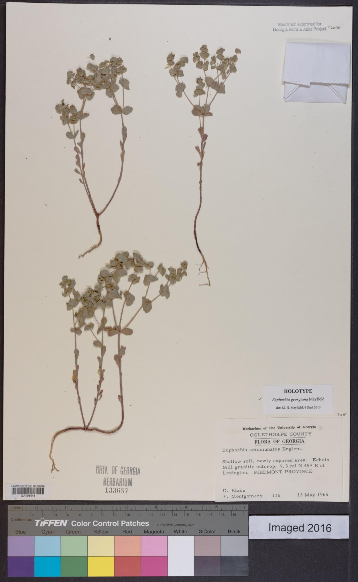 Euphorbia georgiana image