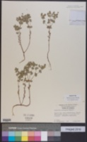 Image of Euphorbia georgiana
