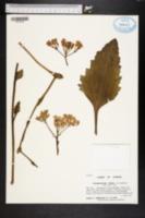 Image of Arnoglossum album