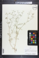 Cyclospermum leptophyllum image