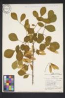 Image of Fraxinus pauciflora