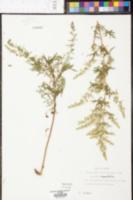 Eupatorium compositifolium image