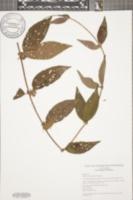 Image of Sabicea panamensis
