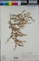 Dicoria canescens image