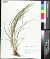 Image of Carex allegheniensis