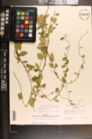 Cynanchum northropiae image