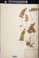 Image of Anemia aurita