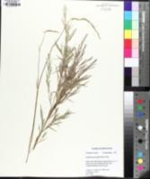 Image of Muhlenbergia glabriflora