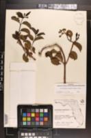 Cryptostegia grandiflora image