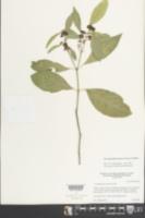 Crossopetalum gaumeri image