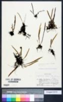 Image of Lepisorus onoei
