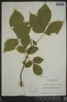 Ptelea trifoliata var. trifoliata image