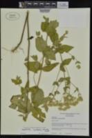 Image of Eupatorium x cordigerum