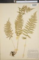Image of Dryopteris simulata