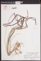 Imperata cylindrica image
