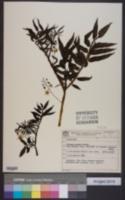 Image of Solanum hoehnei