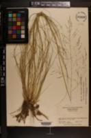 Sporobolus fimbriatus image