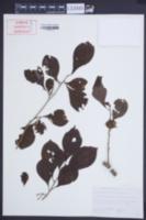 Image of Lindera erythrocarpa