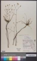 Image of Symphyotrichum bracei