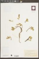 Salix petrophila image
