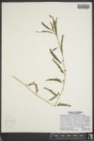 Image of Chamaecrista nictitans ssp. nictitans