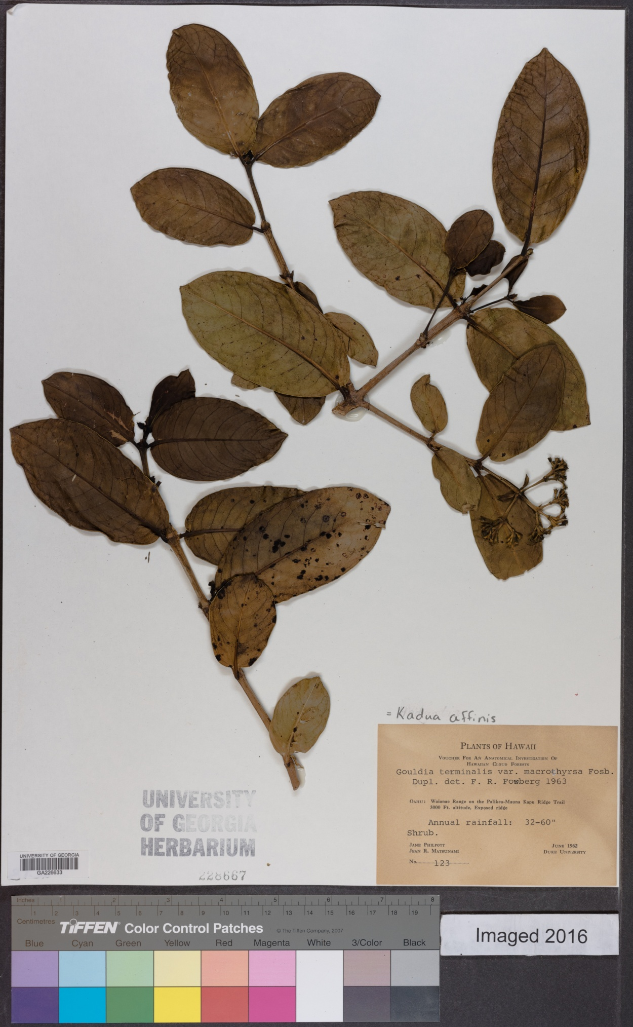 Kadua affinis image