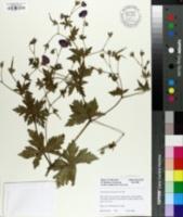Image of Geranium psilostemon