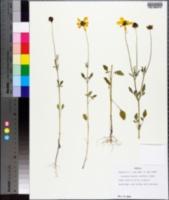 Coreopsis basalis image