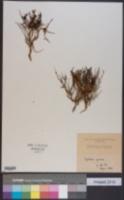 Euphorbia spinosa image