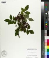 Image of Zanthoxylum ailanthoides