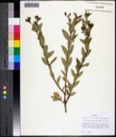 Hypericum nudiflorum image