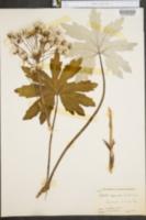 Image of Petasites speciosus