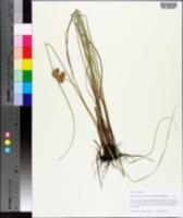 Cyperus reflexus image