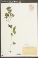 Image of Parietaria lusitanica