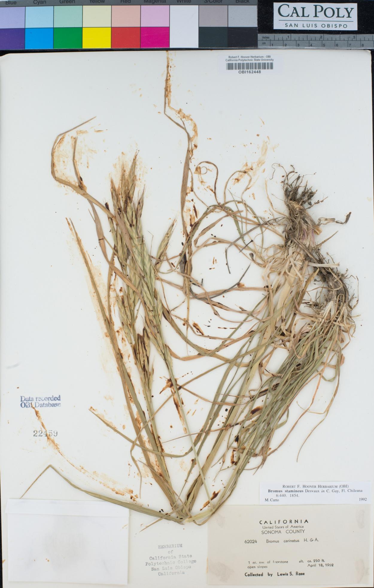 Bromus catharticus var. elatus image