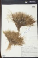 Image of Panicum breve