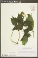 Image of Urtica kioviensis